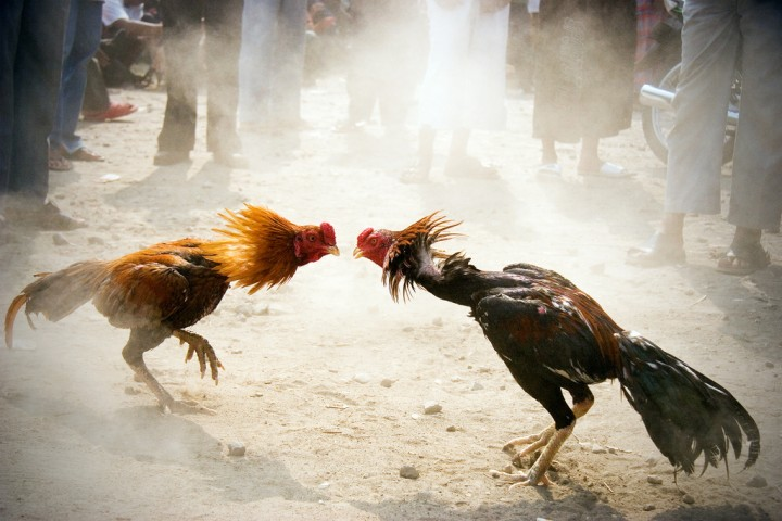 Rooster fight