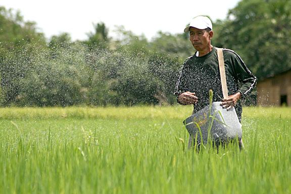 thai-rice-pledging-scheme