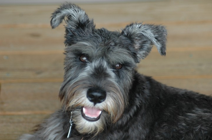 pets dog schnauzer