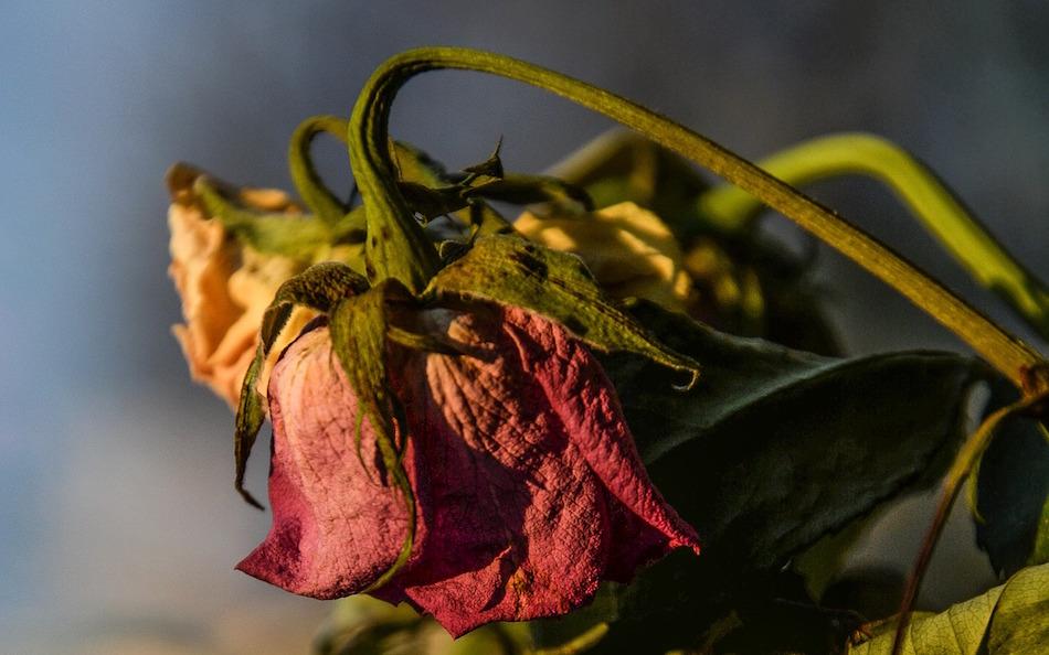 heartbreak-failed-startups-dried-dead-rose