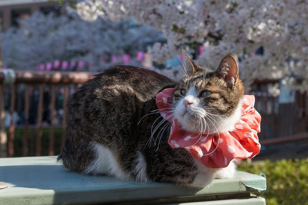 cat, Tokyo, Japan, tourism