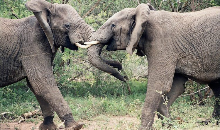 elephants-fight-lock-horns
