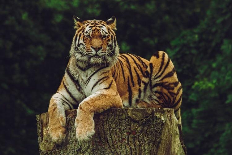 Tiger atop tree bark